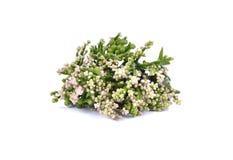 Jadalni kwiaty i urlop Basella albumy lub malabar szpinak Fotografia Stock