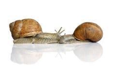 jadalni ślimaczki Fotografia Stock