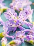 Jadalni rozmarynów kwiaty, zamykają up Obraz Stock