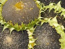 Jadalni słoneczniki obraz royalty free