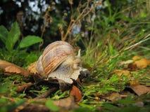 Jadalny ślimaczek, rzymski ślimaczek lub Burgundy ślimaczek widzieć od bocznego chodzenia w zielonej trawie zamkniętej w górę - t zdjęcie royalty free