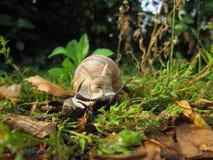 Jadalny ślimaczek, rzymski ślimaczek lub Burgundy ślimaczek widzieć od frontowego chodzenia w zielonej trawie zamkniętej w górę - obraz royalty free