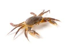 jadalny żywy krab odizolowywający na białym tle Zdjęcie Stock
