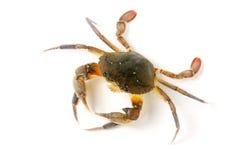 jadalny żywy krab odizolowywający na białym tle Fotografia Royalty Free