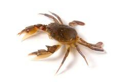 jadalny żywy krab odizolowywający na białym tle Zdjęcie Royalty Free