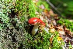 Jadalny mały pieczarkowy Russula z czerwoną rudości nakrętką w mech jesieni lasu tle Grzyb w naturalnym środowisku zamkniętym w g fotografia royalty free
