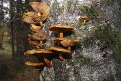 Jadalny Miodowy grzyb r na brzozie Zdjęcia Stock