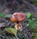 Jadalny pieczarkowy Suillus zdjęcia stock
