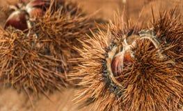 Jadalny słodki kasztan Fotografia Stock