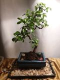 Jade Bonsai Tree fotografering för bildbyråer