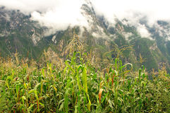 Jade Dragon Snow Mountain. And cornfield Royalty Free Stock Images