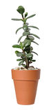 Jade plant Royalty Free Stock Image