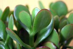Jade Plant Against Yellow Foto de Stock Royalty Free