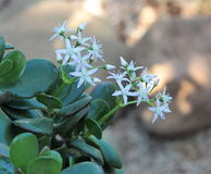 Jade Plant In Bloom Stock Images