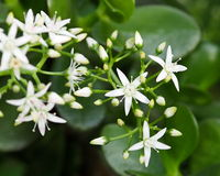 Jade Plant In Bloom Royalty Free Stock Photos