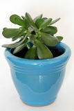 Jade Plant In Blue Pot Royalty Free Stock Image