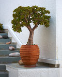 Jade plant in ceramic flowerpot Stock Photos
