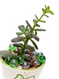 Jade plant (Crassula ovata), isolated Royalty Free Stock Photos