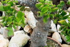Jade plant (Crassula ovata) in a pot as bonsai Royalty Free Stock Photo