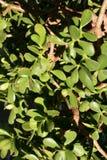 Jade Plant detail Royalty Free Stock Photos
