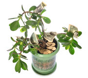 Jade plant with dollar bills isolated on white Royalty Free Stock Photos