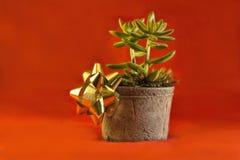 Jade Plant für die Feiertage Stockfotos