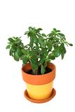 Jade plant isolated. Jade tropical potted plant isolated Stock Images
