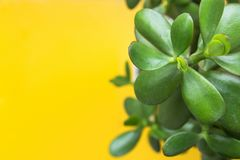 Jade Plant Money Tree en el pote blanco en fondo amarillo brillante Luz del sol Hojas vibrantes frescas del verde Bandera de alta Imagenes de archivo