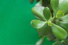 Jade Plant Money Tree im weißen Topf auf grünem Hintergrund Frische vibrierende Blätter Fahnen-Plakat der hohen Auflösung Raum pf lizenzfreie stockfotos