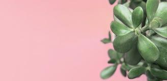 Jade Plant Money Tree no potenciômetro branco no fundo brilhante cor-de-rosa frio na moda A casa urbana da decoração interior das fotografia de stock