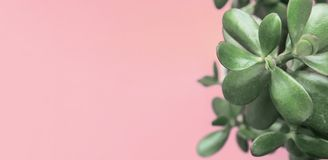 Jade Plant Money Tree in vaso bianco su fondo luminoso rosa freddo d'avanguardia La Camera urbana della decorazione interna delle Fotografia Stock