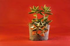 Jade Plant para los días de fiesta en fondo rojo Fotos de archivo
