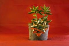 Jade Plant para los días de fiesta en un fondo rojo Fotos de archivo