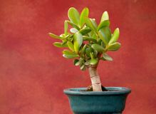 Jade plant in small pot. Isolated jade plant in small pot as artistic bonsai and red background Royalty Free Stock Images