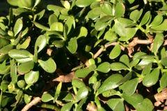Jade Plant-Sonderkommando 2 lizenzfreie stockfotografie