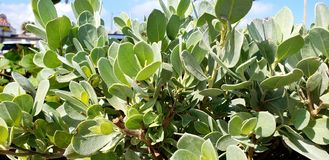 Jade Plants stock photo