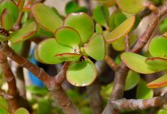 Jade: Stunning Succulents Royalty Free Stock Photos