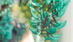 Jade vine Stock Photography