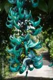 Jade Vine bleue Image stock