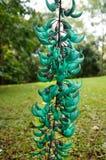 Jade Vine, macrobotrys dello Strongylodon, Maui, Hawai, U.S.A. Fotografie Stock