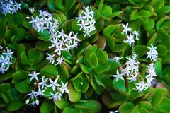 Jadegras, Olifantsoren - Crassula royalty-vrije stock afbeelding