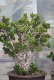 Jadeinstallatie Royalty-vrije Stock Fotografie