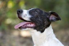 Jadeo al aire libre lindo curioso impaciente de la lengua del primer del perro de perrito foto de archivo libre de regalías