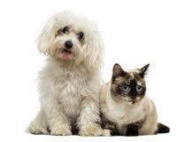 Jadeo maltés y gato de Birman Imagenes de archivo