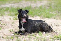 Jadeo mezclado collie negro del perro de la raza Fotos de archivo