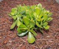 Jadeväxt Royaltyfria Bilder