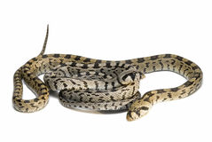 jadowici węże dwa Zdjęcia Royalty Free