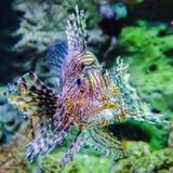 Jadowita egzot ryba Zdjęcia Stock