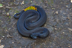 Jadowity czarny adder Zdjęcie Royalty Free