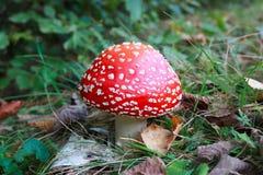 Jadowity czerwieni i bielu Amanita muscaria ono rozrasta się w parku Zdjęcia Stock
